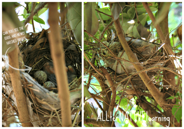 Bird and Bird nest with babies hatching in the springtime